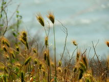 Grass spikelets. The plants in the background of the river. Royalty Free Stock Images