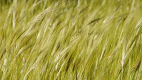Grass spikes moved by the wind stock video footage