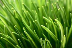 Grass in spring. Numerous grass sprouts in early spring stock photography