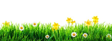 Grass and spring flowers background. Grass and spring flowers isolated on white background Royalty Free Stock Photo