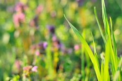 Green grass in spring time Royalty Free Stock Image