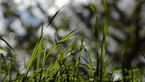 Grass in spring video. Video of a Grass in spring stock video