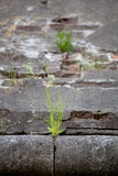 Grass sprouted in the stone wall texture Shallow depth of field Stock Photo