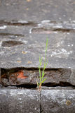 Grass sprouted in the stone wall. texture.Shallow depth of field Stock Image