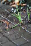 Grass sprouts. Royalty Free Stock Image