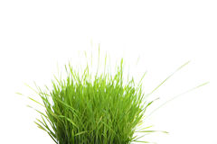 Grass sprouts stock photo