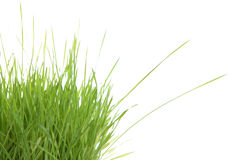 Grass sprouts royalty free stock photo