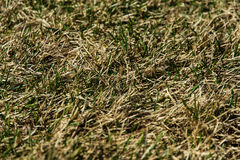 Grass sprouts on dry field Stock Photography