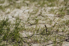 Grass sprouts on dry land Stock Photography
