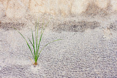 Grass Stalk in Sand Dune Royalty Free Stock Photo