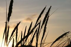 Grass stalk at sunset. Silhouetted stalks of grass seen at sunset Royalty Free Stock Images