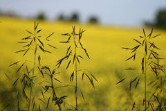 grass stalks in canola fields Stock Photo