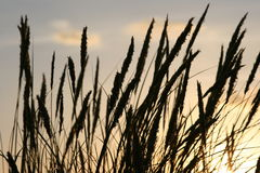 Grass stalks silhouetted. Stalks of grass/wheat silhouetted against the sky Royalty Free Stock Photography