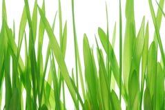 Grass stalks on white. Green grass stalks on white background Stock Photography
