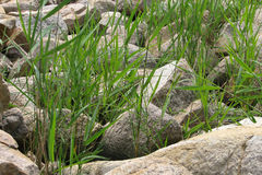 Grass and stones. Grass and rocks on the coast of the Black Sea in Bulgaria Stock Photos