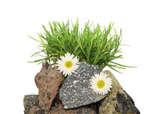 A  grass on stones  on a white background Stock Photos