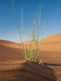 Grass straw in desert. Grass straw growing in desert royalty free stock photos