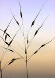 Grass straws on twilight sky Stock Photo