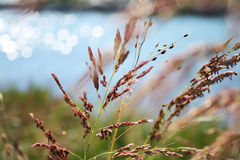 Grass in summer breeze. Dry grass moving in summer breeze. Bright blue sea in the background stock photos