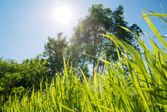 Grass and sun Royalty Free Stock Photo