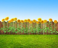 A grass and sunflowers at backyard, spring background stock images
