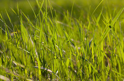 The grass in the sunlight closeup. Stock Images