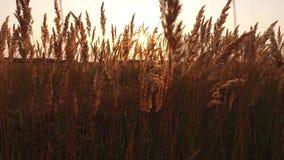 Grass sunlight at dawn morning summer. Nature field brown and yellow spikelet grass steadicam shot motion video stock photo