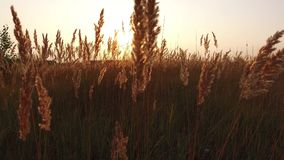 Grass sunlight at dawn morning summer. Nature field brown and yellow spikelet grass steadicam shot motion video royalty free stock images