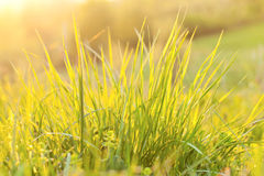 Grass and sunlight at sunset in the background Royalty Free Stock Image