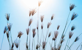 Grass and sunny. On blue sky Royalty Free Stock Image