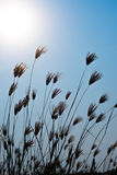 Grass and sunny. On blue sky Royalty Free Stock Photography