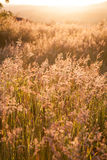 Grass on a sunny summer sunset Stock Image
