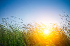 Grass and sunrise Stock Image