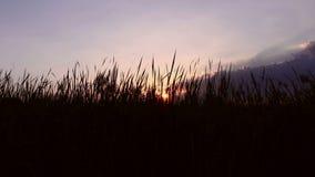 Grass on sunrise background stock video