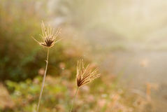 Grass during sunrise Royalty Free Stock Photography