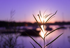 Grass in Sunrise Royalty Free Stock Photos