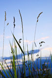 Grass at sunset Royalty Free Stock Photo