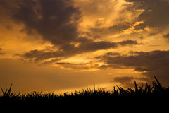 Grass at sunset. Grass silhouette at golden sunset Royalty Free Stock Images