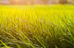 Grass at sunset Stock Image