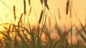 Grass and sunset Royalty Free Stock Photo