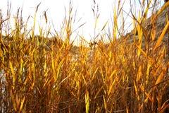 Grass at sunset. Golden grass in sunset light Royalty Free Stock Photos
