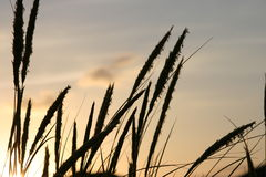 Grass at sunset. A close up view of grass during the evening sunset Royalty Free Stock Photos