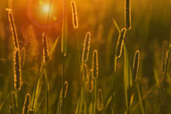 The grass at sunset Stock Photography