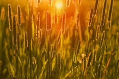 The grass at sunset. (evening Stock Images