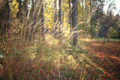 Grass in sunset autumn forest Royalty Free Stock Images