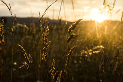 Grass in sunset royalty free stock photos