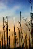 Grass in sunset Stock Image