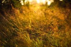 Grass in sunset. Blurred grass in sunset lighting Royalty Free Stock Photography