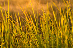 Grass at sunset. Close up Stock Photo