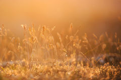Grass at Sunset Royalty Free Stock Photos